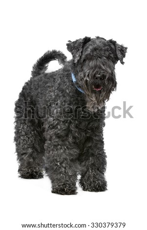 Eight year old Kerry Blue Terrier standing in front of a white background - stock photo