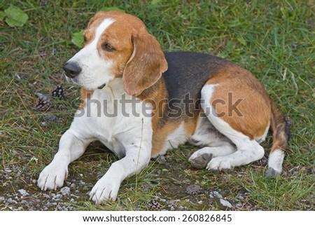 Ein treuer und familienbezogener Hund - ein Beagle - stock photo
