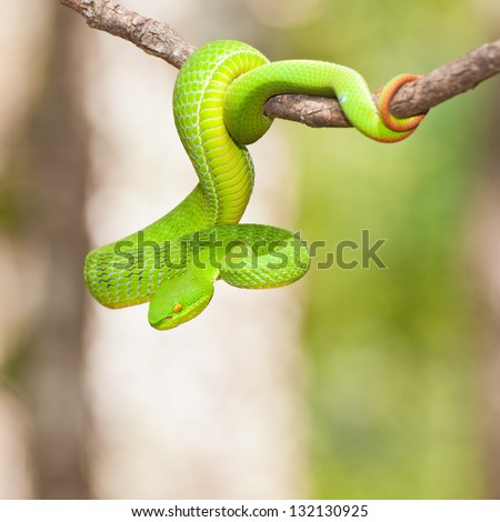 Ekiiwhagahmg snakes (snakes green) in the forests of Thailand