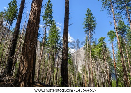 El Capitan rock between the trees in Yosemite National Park in California