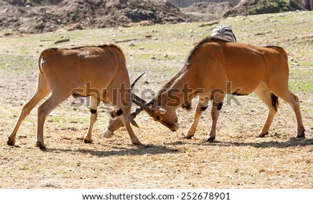 Eland antelope fight with each other on the grass - stock photo
