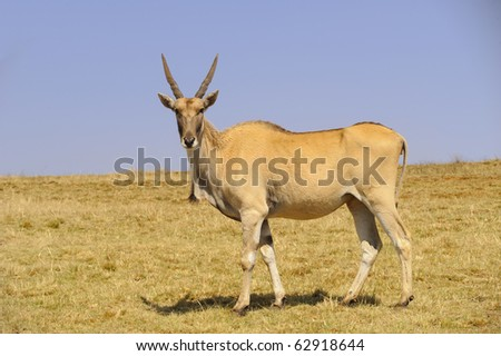 Eland (Cape or Livingstone's) (Tragelaphus oryx). Largest of all the world's antelope.  Drakensberg, South Africa.