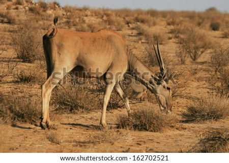 Eland - feeding - Kalahari, South Africa