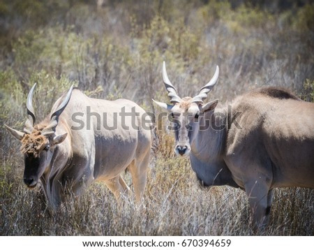 Eland grazing in the field in a protected nature reserve in south africa