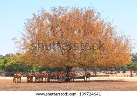 "Eland herd in a shade tree during a hot summer season (National park ""Safari"". Ramat Gan. Israel) - stock photo"