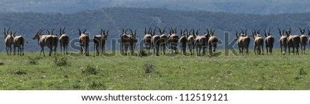 Eland herd panorama rear view going into the distance. - stock photo