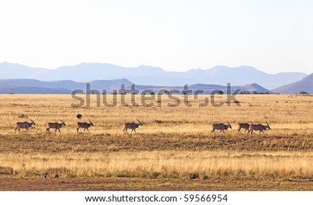 Eland (Taurotragus oryx) in the Mountain Zebra National Park, South Africa. - stock photo