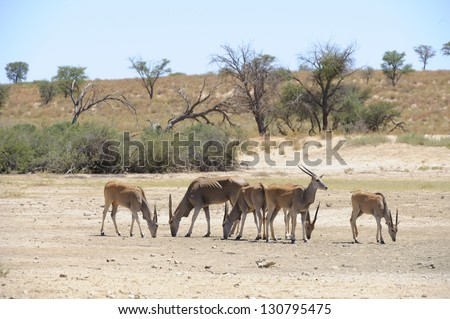Eland (Taurotragus oryx) licking salt deposits at Cheleka waterhole in the kalahari desert. It is a time of drought and the animals are emaciated showing signs of stress.