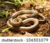 Elaphe quadrivirgata(Japanese Four-lined Ratsnake / Japanese Striped Snake) in the wild. - stock photo