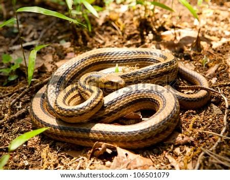 Elaphe quadrivirgata(Japanese Four-lined Ratsnake / Japanese Striped Snake) in the wild. - stock photo