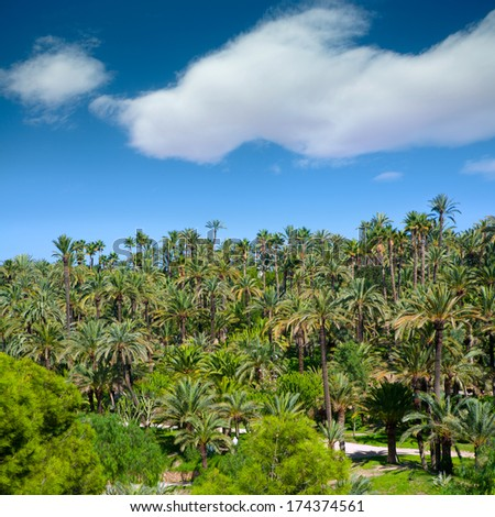 Elche Elx Alicante el Palmeral Park with many palm trees in Valencian Community of Spain