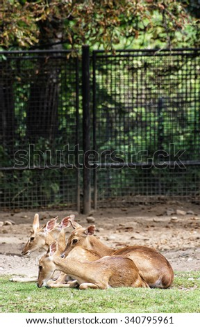 Eld's deer (Panolia eldii), also known as the thamin or brow-antlered deer, is an endangered species of deer indigenous to Southeast Asia. Animal scene. - stock photo