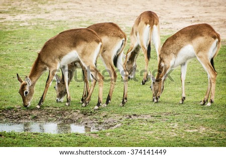 Eld's deer (Panolia eldii), also known as the thamin or brow-antlered deer, is an endangered species of deer indigenous to Southeast Asia. Group of animals by the water. - stock photo