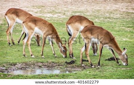 Eld's deer (Panolia eldii), also known as the thamin or brow-antlered deer, is an endangered species of deer indigenous to Southeast Asia. Animals by the water. Watering place. - stock photo