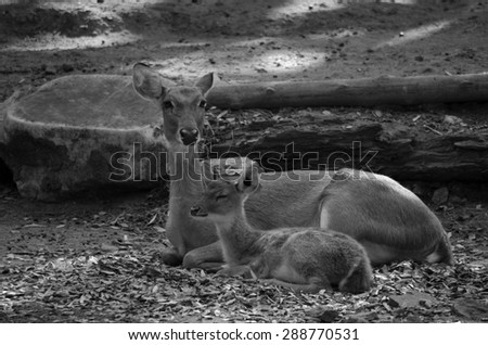 Eld's deer (Panolia eldii) also known as the thamin or brow-antlered deer, is an endangered species of deer indigenous to Southeast Asia - stock photo