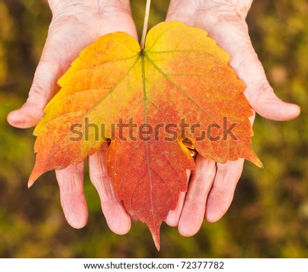 Elder woman 's hands holding a red leaf. - stock photo