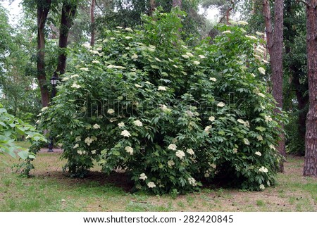 elderberry blossom bush - stock photo