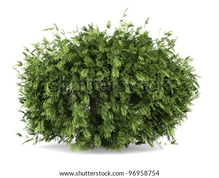 elderberry bush isolated on white background - stock photo