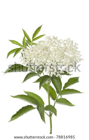 Elderberry flower and leaves on white background - stock photo