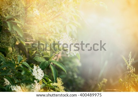 Elderberry flowers , outdoor nature background. Garden or park background with Elderberry blooming - stock photo