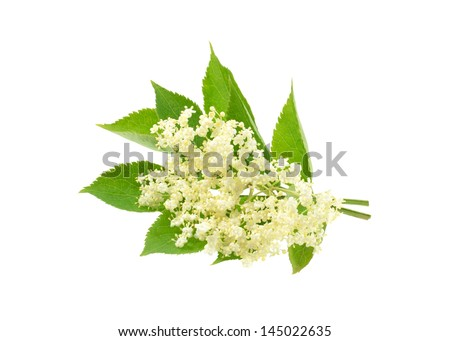 Elderflower - stock photo