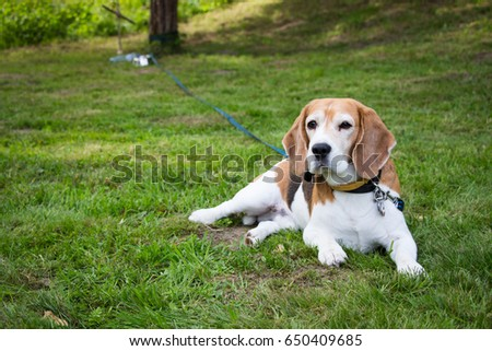 Elderly beagle dog laying on grass in a garden looking at the camera