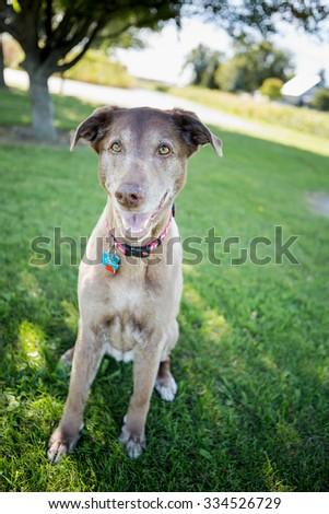 Elderly dog sitting in the backyard - stock photo