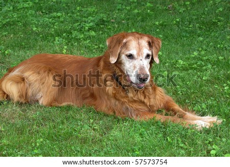 elderly  golden retriever dog - stock photo