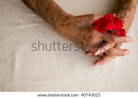 elderly hands folded holding pansy flower over white background - stock photo
