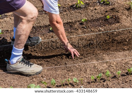 Elderly man planting vegetable garden in early Summer.