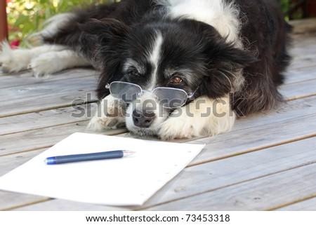 Elderly Retired Border Collie Dog Thinking About Writing a Novel - stock photo