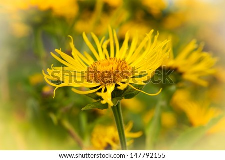 Elecampane, Inula helenium, in bloom. Roots are used in herbal medicine - stock photo