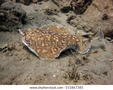 Electric Ray - stock photo