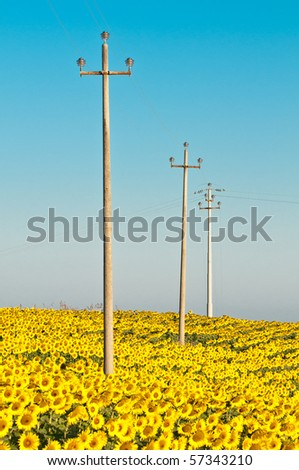 Electricity poles in sunflower field in early morning - stock photo