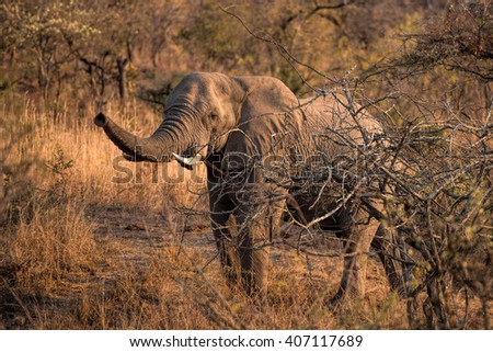 elefant in south africa