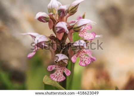 Elegance of Nature. Wild Sicilian Orchid. Point Focus with nice bokeh technique. Vibrant lovely colors, Amazing wildlife plant. Very shallow depth of field