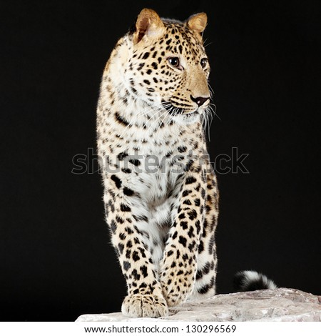 Elegant big leopard stands on rock, black background. - stock photo