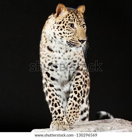 Elegant big leopard stands on rock, black background. - stock photo