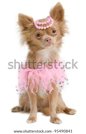 Elegant chihuahua bride with pink dress and pearls on its head - stock photo