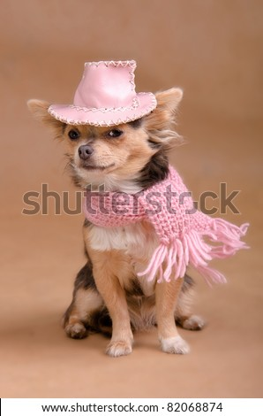 Elegant chihuahua puppy wearing pink hat and scarf isolated on white background - stock photo