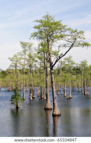 Elegant Cypress tress in flooded area - stock photo