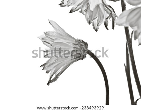 Elegant daisy flowers on white background - black and white treatment. - stock photo