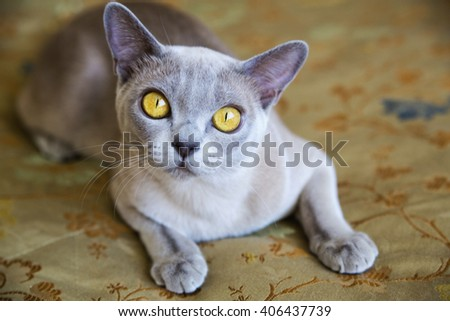 Elegant exotic cat with the curious look - stock photo