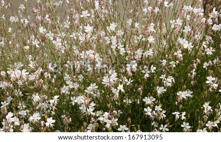 Elegant gaura species of Australian Butterfly Bush  with pink and white  flowers  in bloom in summer adds charm to the cottage garden land scape attracting butterflies and bees. - stock photo