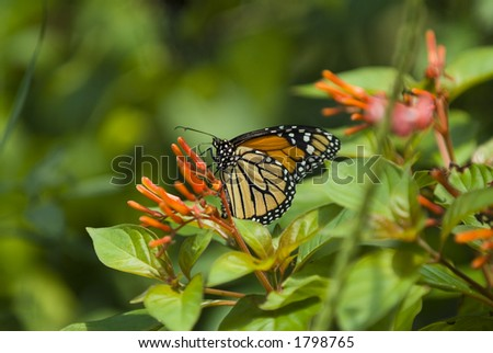 Elegant Monarch butterfly on flower - stock photo