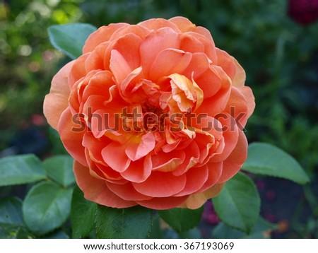 elegant peach-colored rose saturated
