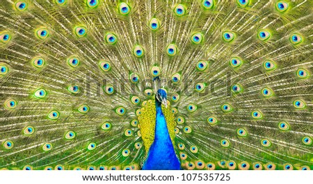 Elegant peacock with vibrant colors showing off his feathers. - stock photo