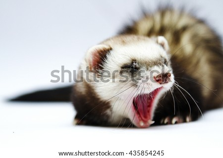 Ferret Stock Images Royalty Free Images Amp Vectors