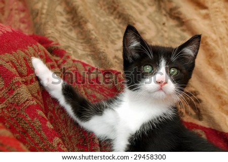 elegant pose from a cute black and white kitten