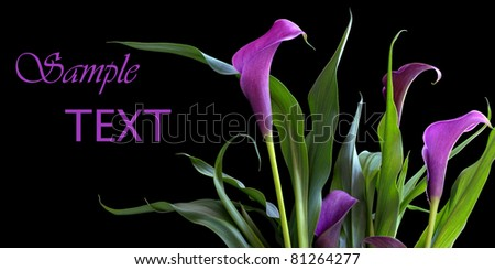 Elegant purple calla lily bouquet on black background with copy space. - stock photo